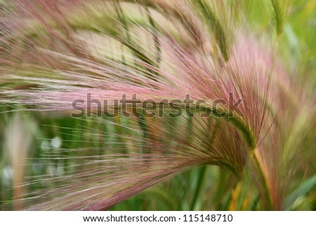 Close up macro of the seed head of beautiful Alaskan grass in summer. - stock photo