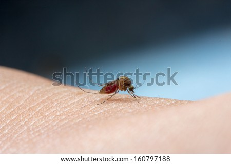 close up macro photo a mosquito sucking human blood - stock photo