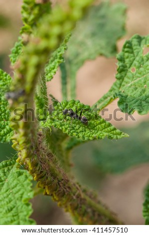 Close up, macro photo of black ant working on green leaf with colorful background in daylight  - stock photo