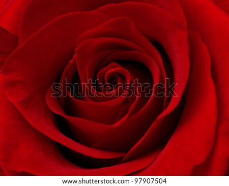 Close up macro photograph of red rose