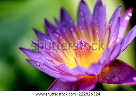 Close up macro pollen of purple lotus flower - stock photo