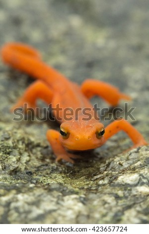 Close up macro red spotted newt in its forest habitat - stock photo