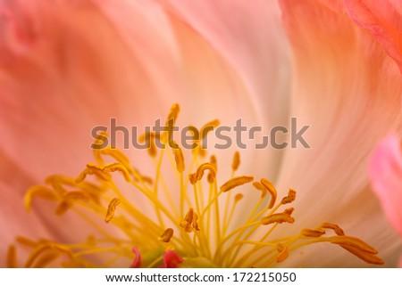Close Up Macro Shot auf a beautiful pastel Peony Flower with soft bokeh - stock photo