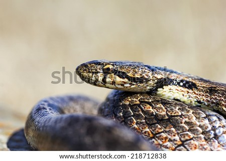 Close up macro shot of a beautifully Southern Smooth Snake (Coronella girondica)