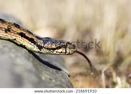 Close up macro shot of a beautifully Southern Smooth Snake (Coronella girondica) showing its long tongue