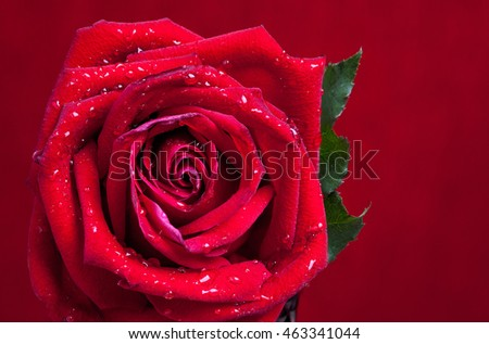 close up macro shot of a red rose on red background