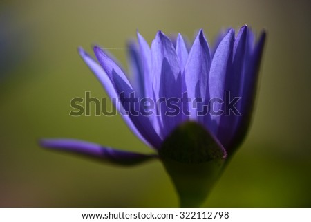 close up macro shot of purple and pink lotus in zen style - stock photo