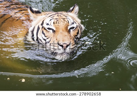 Close up Malayan Tiger swimming in a River