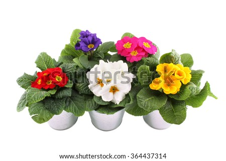 Close-up many Primrose potted plants. Isolated on white background