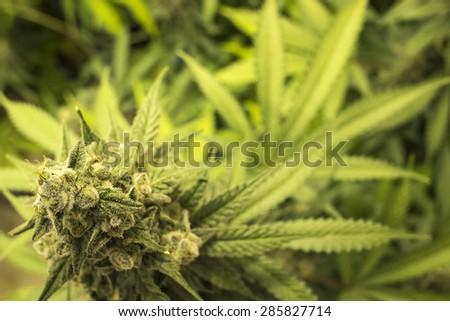Close Up Marijuana Bud on Indoor Plant - stock photo