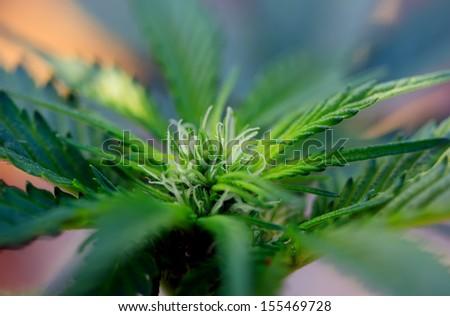 close-up marijuana plant for medical need - stock photo