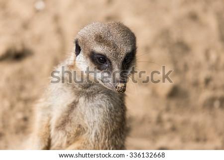 Close-up meerkat in Antwerp zoo - stock photo