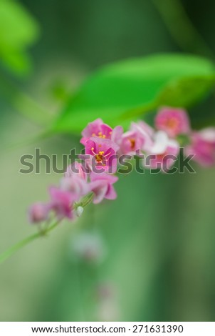 close up Mexican creeper flower on Green background - stock photo
