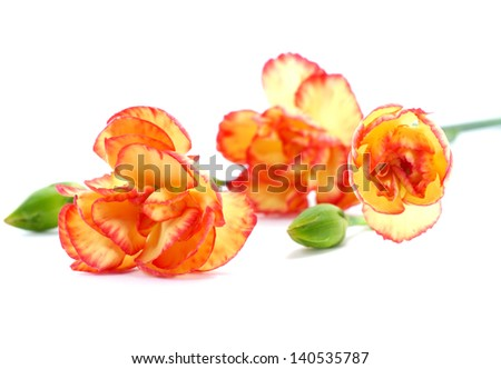 close up mini carnation flower
