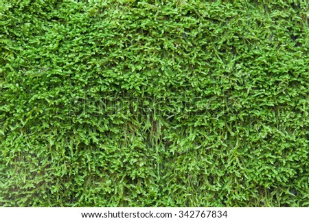 Close up moss Texture to use as wallpaper - stock photo