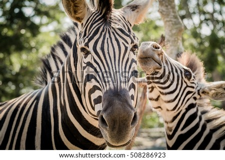 Close-up mother Zebra and son  in open zoo of Thailand. light on the eye
