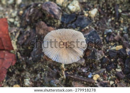 close up mushroom in deep forest, Thailand - stock photo