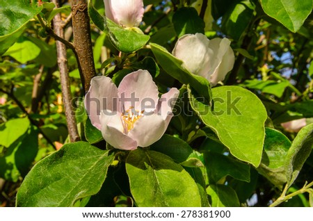 Close Up Nature Detail of Delicate Pink Blossom with Yellow Stamen Blooming in Summer on Plant with Green Leaves - stock photo