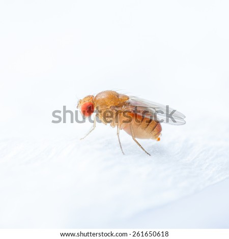 Close up new born fruit fly in studio - stock photo