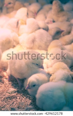 Close up newly hatched chicks on a chicken farm / Vintage look - stock photo