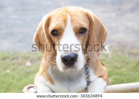 Close-up nice beagle dog boy looking on floor - stock photo