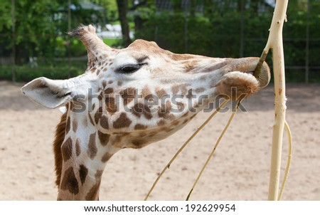 Close up of a adult giraffe eating - stock photo