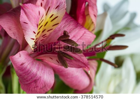 close up of a alstroemeria with delicate petals with beautiful colors - stock photo