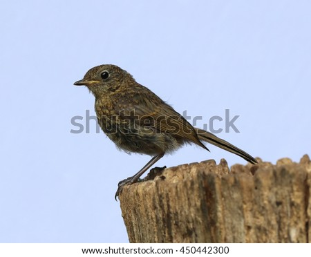 Close up of a baby Robin on a tree trunk - stock photo