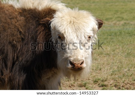 Close up of a baby yak in Mongolia - stock photo
