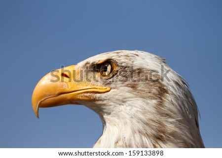 Close-up of a bald eagle against blue sky - stock photo