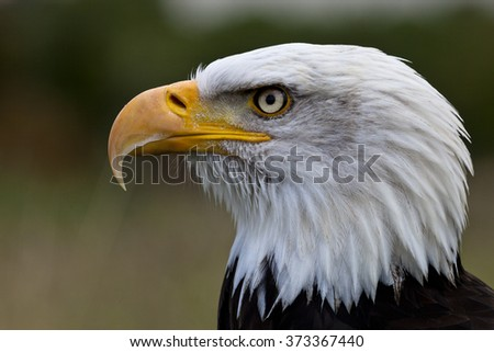 Close up of a Bald Eagle looking to the left