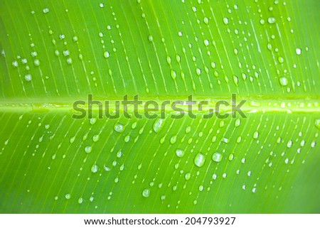 close up of a banana tree leaf with raindrops