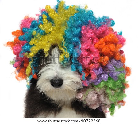 Close-up of a bearded collie puppy wearing a clown's wig