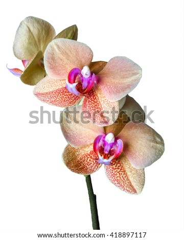 Close up of a beautiful blooming Cream colored Phalaenopsis â??Surf Songâ?� orchid