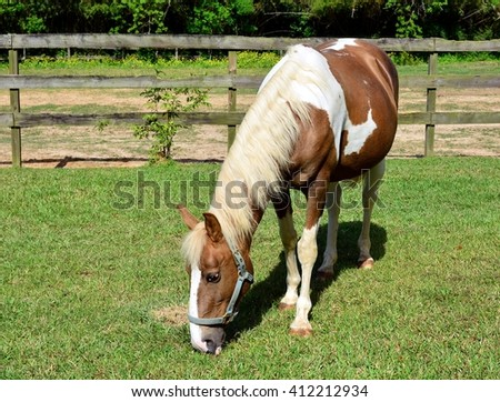Close up of a beautiful brown and white mare in foal horse, grazing in the grass. - stock photo