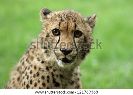 Close-up of a beautiful Cheetah. - stock photo