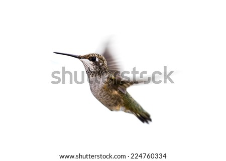 close up of a beautiful humming bird in flight isolated on a white background - stock photo