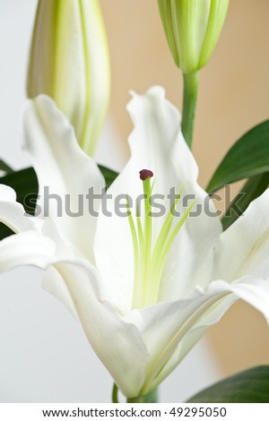 close up of a beautiful lily flower
