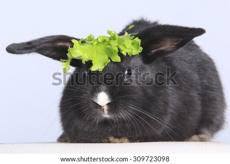 Close-up of a beautiful little black Rabbit and lettuce on white background studio - stock photo