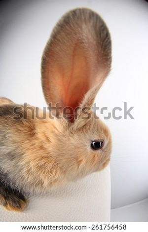 Close-up of a beautiful little rabbit beige color on white background studio - stock photo