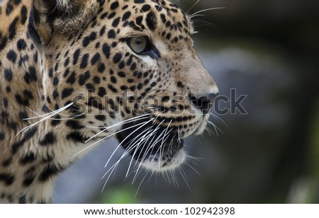 close-up of a beautiful Panther - stock photo