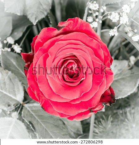 Close up of a beautiful red rose flower  - stock photo