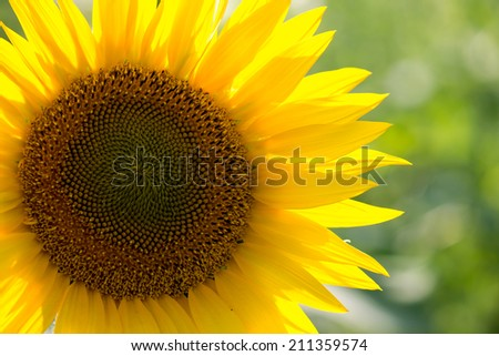 close-up of a beautiful sunflower in a field - stock photo
