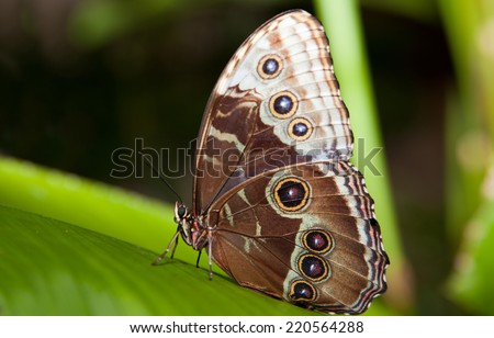 Close-up of a beautiful tropical Owl Butterfly, Caligo Memnon, in delicate shades of blue and cream, with the characteristic eye spot on its lower wing. Isolated on white with clipping path.  - stock photo