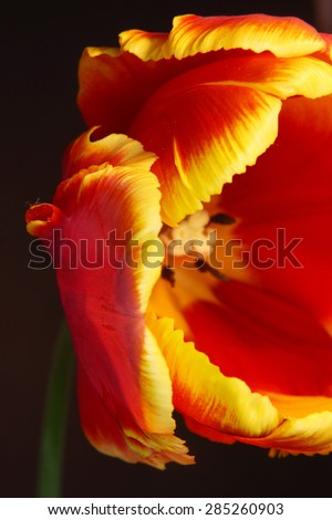 Close-up of a beautiful tulip with shallow DOF on black background