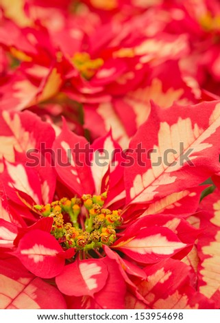 Close up of a beautiful variegated pink poinsettia with selective focus - stock photo