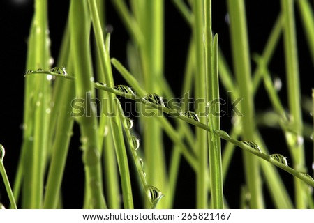 close-up of a beautiful young green grass on black background studio