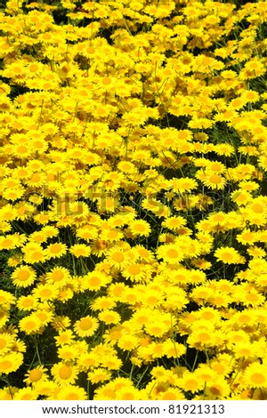 Close up of a bed of Anthemis tinctoria flowers (Golden Rays, Golden marguerite, Oxeye chamomile) - stock photo