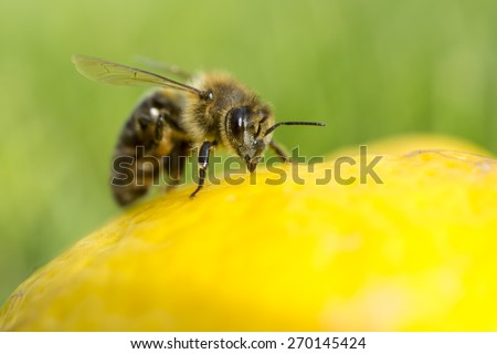 Close up of a bee inspecting a lemon - stock photo
