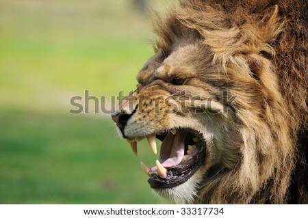 Close-up of a big angry African male lion - stock photo